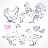 Various poultry. Set with various poultry. chicken, rooster, duck. hand-drawn illustration Royalty Free Stock Photos