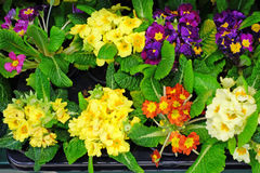 Various primrose flowers in the store Stock Images