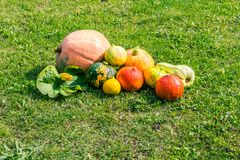 Various pumpkins cultivar squash plant Cucurbita pepo fresh from the market for thanksgiving or decorate on halloween royalty free stock images