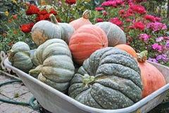 Various pumpkins in the garden wheelbarrow Royalty Free Stock Image