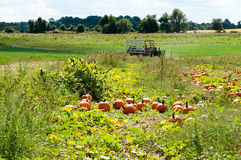 Various Pumpkins in green field during fall Royalty Free Stock Images