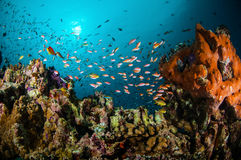 Various reef fishes swimming above the coral reefs in Gili, Lombok, Nusa Tenggara Barat, Indonesia underwater photo Stock Photography