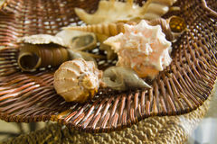 Various Sea shells in basket Stock Image