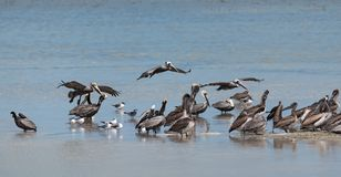 Various seabirds on a sandbank in front of the Holbox island, Mexico.  Stock Photography