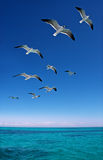 Various seagulls flying over a blue sea Royalty Free Stock Photos