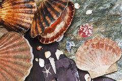 Various seashells on wet stones Stock Image