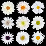 Various Selection of White Flowers Isolated Royalty Free Stock Image