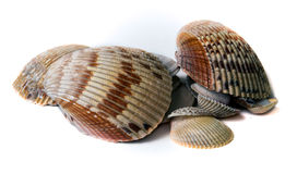 Various sized seashells over white Stock Images