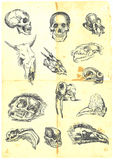 Various Skulls. Hand drawn a large collection of various skulls. People, birds, prehistoric animals, mammals. Detailed and precise work. (For similar images vector illustration
