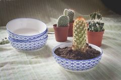 Various Small pots with baby cactus being transplanted. Botanical replanting concept represented by a small cactus on a new ceramic pot in first term and some royalty free stock photos
