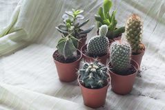 Various Small pots with baby cactus. 7 diferent cactus on small pots on soft green fabric, Cactaceae, a family comprising about 127 genera with some 1750 known Royalty Free Stock Image