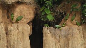 Various species of amazon parrots on clay lick in Brazil, typical bird behavior, parrots gathering to balance their fruit diet. Beautiful birds in amazon rain stock video