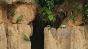 Various species of amazon parrots on clay lick in Brazil, typical bird behavior, parrots gathering to balance their fruit diet. Beautiful birds in amazon rain stock footage