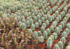 Various Species of Cactus  as Grown in a Commercial Nursery royalty free stock photography