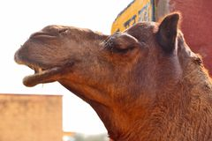 Camels in National Research Centre on Camel, Bikaner. Various species of Camel in National Research Centre on Camel, Bikaner. Various breeds of camels are stock photos