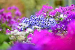 Various species of colorful flowers blooming during spring in Auckland Domain Wintergardens Royalty Free Stock Photo