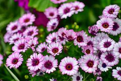 Various species of colorful flowers blooming during spring in Auckland Domain Wintergardens Royalty Free Stock Images