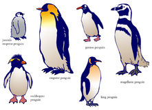 Various species of penguin with name (vector) Royalty Free Stock Images