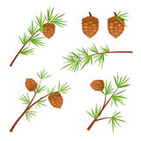 Various spruce branches vector illustration Royalty Free Stock Photography