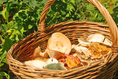 Various summer mushrooms in a basket. Over grass in the forest royalty free stock photography