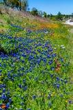 Various Texas Wildflowers Stock Image