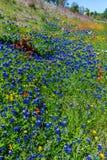 Various Texas Wildflowers Stock Photos