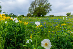 Various Texas Wildflowers in a Texas Pasture Stock Photos