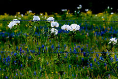 Various Texas Wildflowers in a Texas Pasture with Fence at Sunse Stock Photo