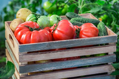 Various tomatoes and cucumbers Royalty Free Stock Images