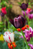 Various tulips in garden Stock Photos