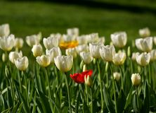 Various tulips Stock Image