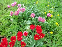 Various tulips and wild flowers royalty free stock images