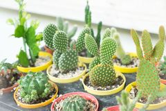 Various types of cactus in different pot stock photography