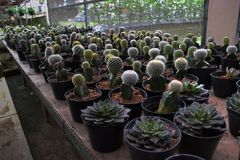 Various types of cactus. Planted in pots, cultivated in Indonesia Royalty Free Stock Photo