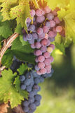 Various types of grapes on a vine Royalty Free Stock Photos