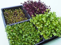 Various types of healthy micro-greens vegetables. Growing up in boxes stock photo