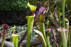 Various types of pitcher plant or trumpet pitchers in garden royalty free stock photo