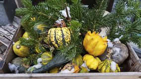 Various types of pumpkins lie in a wooden box. Fir-tree branches decorated with composition. A bit of snow sprinkled pumpkin. stock photos