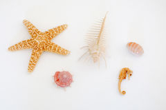 Various types of sea shells, sea star and seahorse Royalty Free Stock Photography