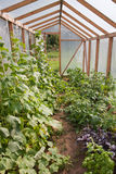 Various vegetables and herbs in greenhouse. Various vegetables, fruits and herbs growing in greenhouse on both sides of footpath. Organic farming Royalty Free Stock Photography