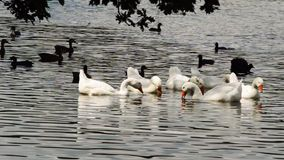 Various water birds on a lake stock video footage