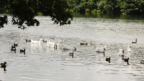 Various water birds on a lake Medium shot. Geese, mallard ducks and euresian coot waterbirds feeding and moving with focus on geese Medium shot stock video