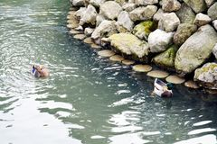 Various wet stones, ducks and lake, winter landscape in Italy. Various wet stones in white gray hues, ducks and lake, stones texture and green lake. Abstract Stock Photo