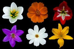 Various white cosmos and rain lily, pink rain lily, orange cosmos, red hippeastrum amaryllis and yellow day lily flowers royalty free stock images