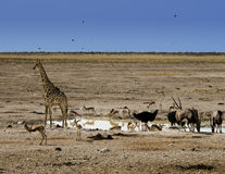 Waterhole in the Namibian desert Royalty Free Stock Photography