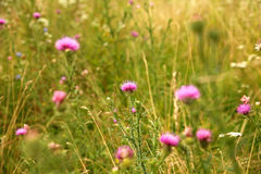 Various wild flowers Royalty Free Stock Images