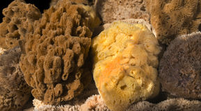 Various Yellow and Brown Sea Sponges Royalty Free Stock Image