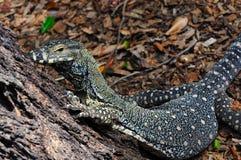 varius varanus монитора ящерицы шнурка goanna Стоковое Изображение