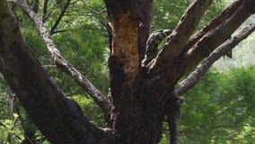 Varius Varanus Goanna взбираясь к дереву и вставляя свой язык вне в Австралии видеоматериал