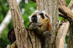 Varizitting op tak in dierentuin in Beieren stock fotografie